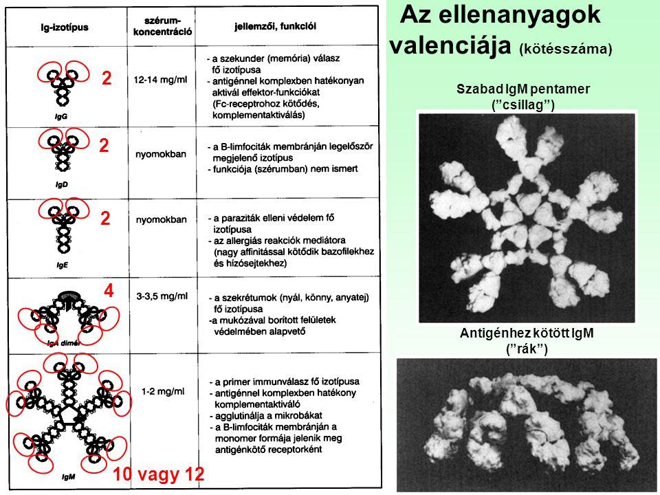 """Szabad IgM pentamer (""""csillag"""") Antigénhez kötött IgM (""""rák"""") Az ellenanyagok valenciája (kötésszáma) 2 2 2 4 10 vagy 12"""