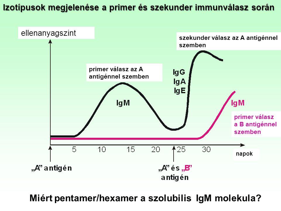 szekunder válasz az A antigénnel szemben primer válasz az A antigénnel szemben ellenanyagszint napok primer válasz a B antigénnel szemben Izotípusok m