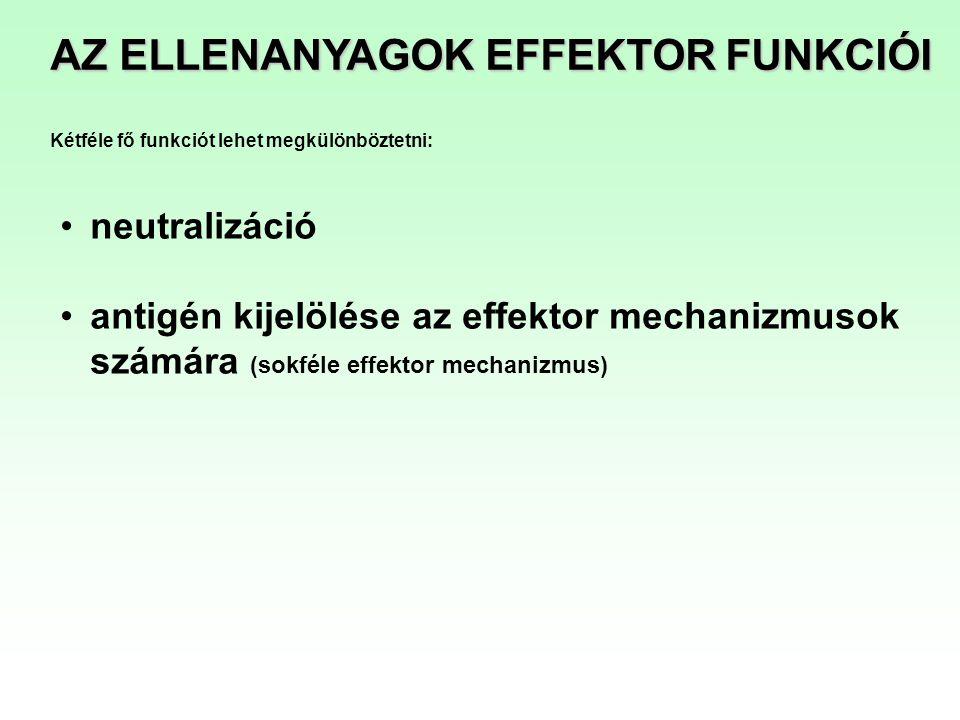 AZ ELLENANYAGOK EFFEKTOR FUNKCIÓI neutralizáció antigén kijelölése az effektor mechanizmusok számára (sokféle effektor mechanizmus) Kétféle fő funkció