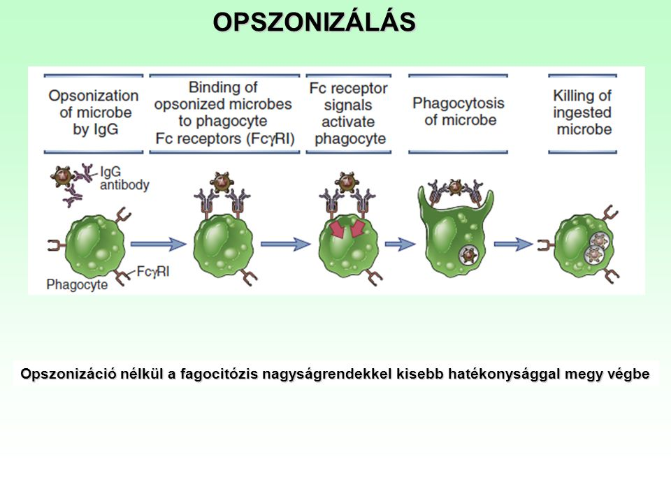 OPSZONIZÁLÁS Opszonizáció nélkül a fagocitózis nagyságrendekkel kisebb hatékonysággal megy végbe