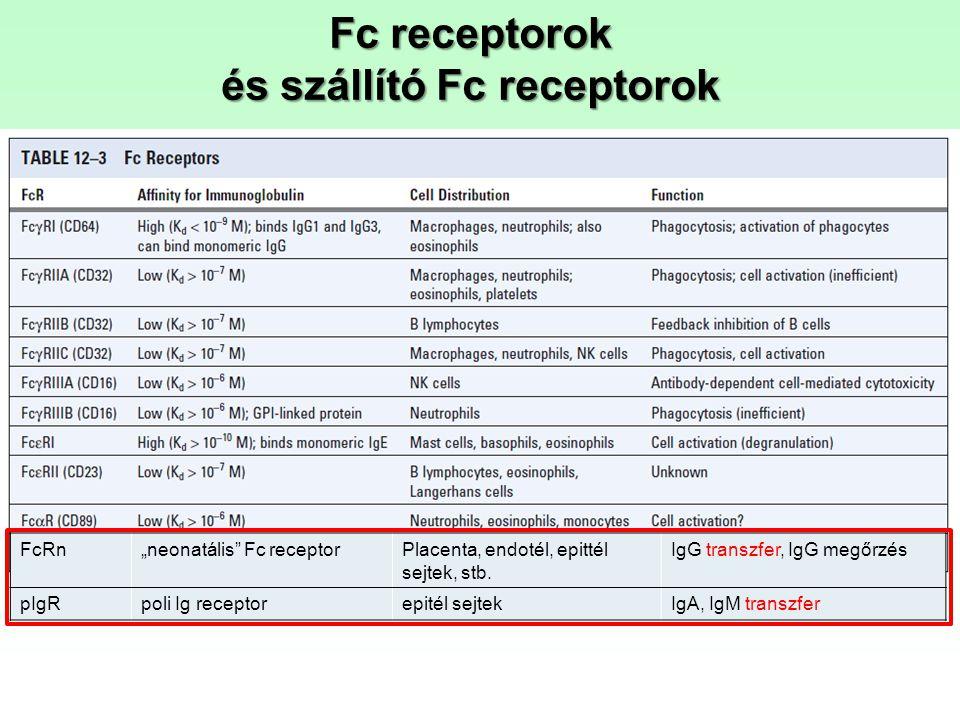 """Fc receptorok és szállító Fc receptorok FcRn""""neonatális"""" Fc receptorPlacenta, endotél, epittél sejtek, stb. IgG transzfer, IgG megőrzés pIgRpoli Ig re"""
