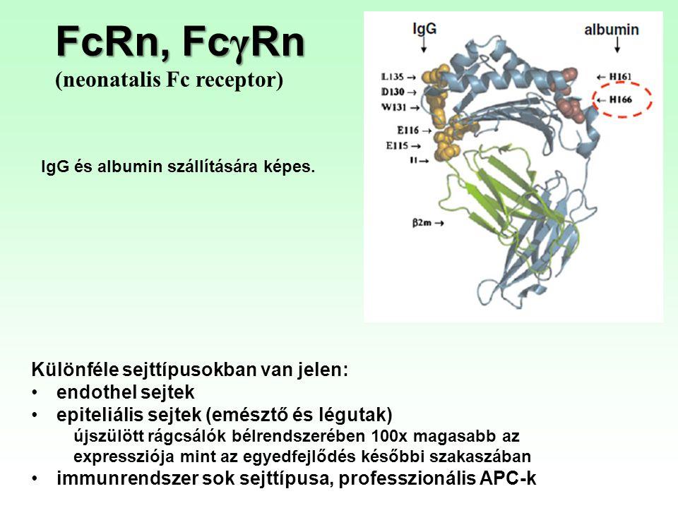 FcRn, Fc γ Rn (neonatalis Fc receptor) IgG és albumin szállítására képes. Különféle sejttípusokban van jelen: endothel sejtek epiteliális sejtek (emés