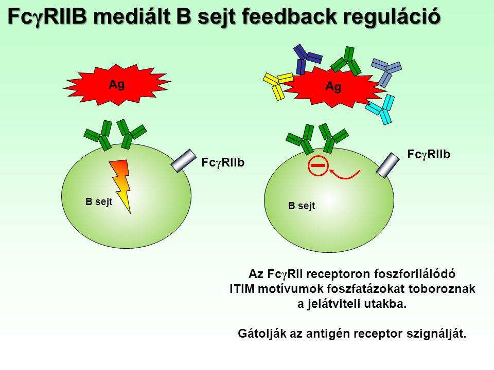 Az Fc γ RII receptoron foszforilálódó ITIM motívumok foszfatázokat toboroznak a jelátviteli utakba. Gátolják az antigén receptor szignálját. B sejt Ag