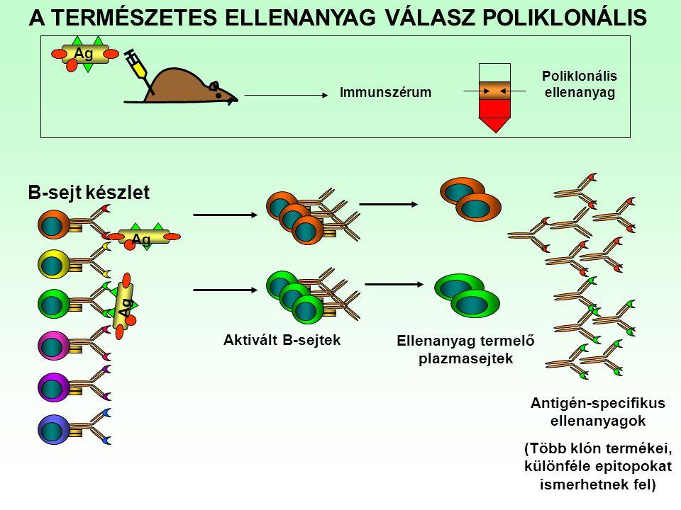 A TERMÉSZETES ELLENANYAG VÁLASZ POLIKLONÁLIS Ag Immunszérum Poliklonális ellenanyag Ag B-sejt készlet Aktivált B-sejtek Ellenanyag termelő plazmasejte