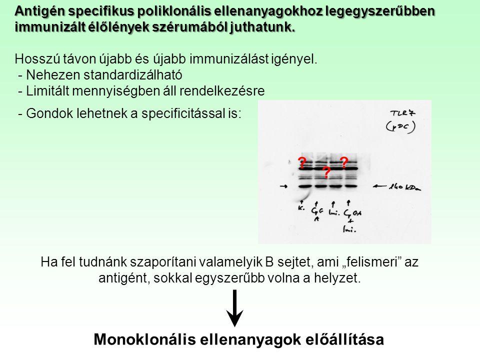 Antigén specifikus poliklonális ellenanyagokhoz legegyszerűbben immunizált élőlények szérumából juthatunk. Hosszú távon újabb és újabb immunizálást ig