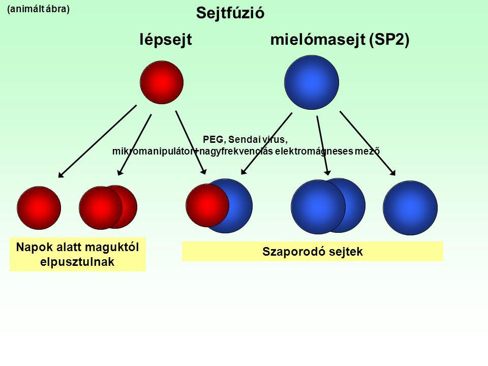 lépsejtmielómasejt (SP2) Napok alatt maguktól elpusztulnak Szaporodó sejtek Sejtfúzió (animált ábra) PEG, Sendai virus, mikromanipulátor+nagyfrekvenci