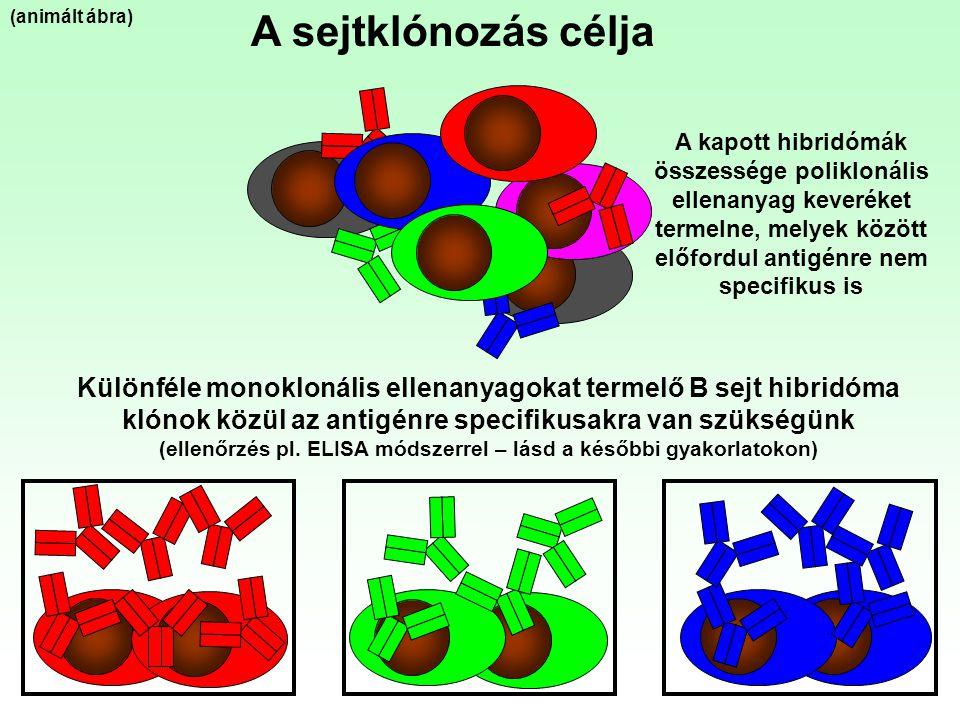 A sejtklónozás célja Különféle monoklonális ellenanyagokat termelő B sejt hibridóma klónok közül az antigénre specifikusakra van szükségünk (ellenőrzé
