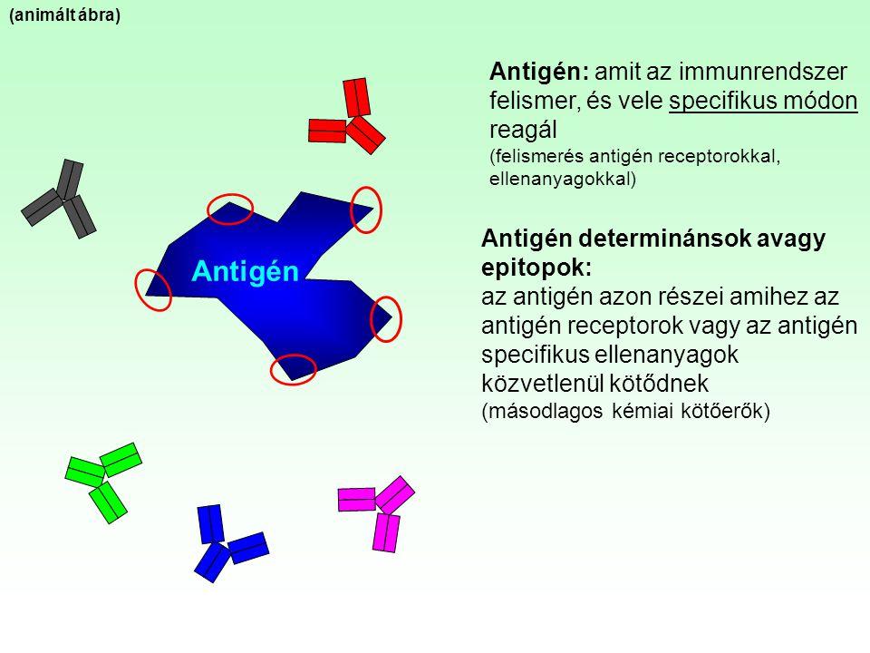 Antigén (animált ábra) Antigén: amit az immunrendszer felismer, és vele specifikus módon reagál (felismerés antigén receptorokkal, ellenanyagokkal) An