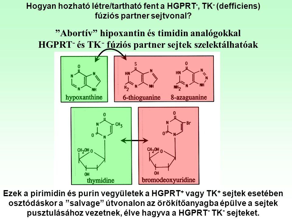 """""""Abortív"""" hipoxantin és timidin analógokkal HGPRT - és TK - fúziós partner sejtek szelektálhatóak Ezek a pirimidin és purin vegyületek a HGPRT + vagy"""