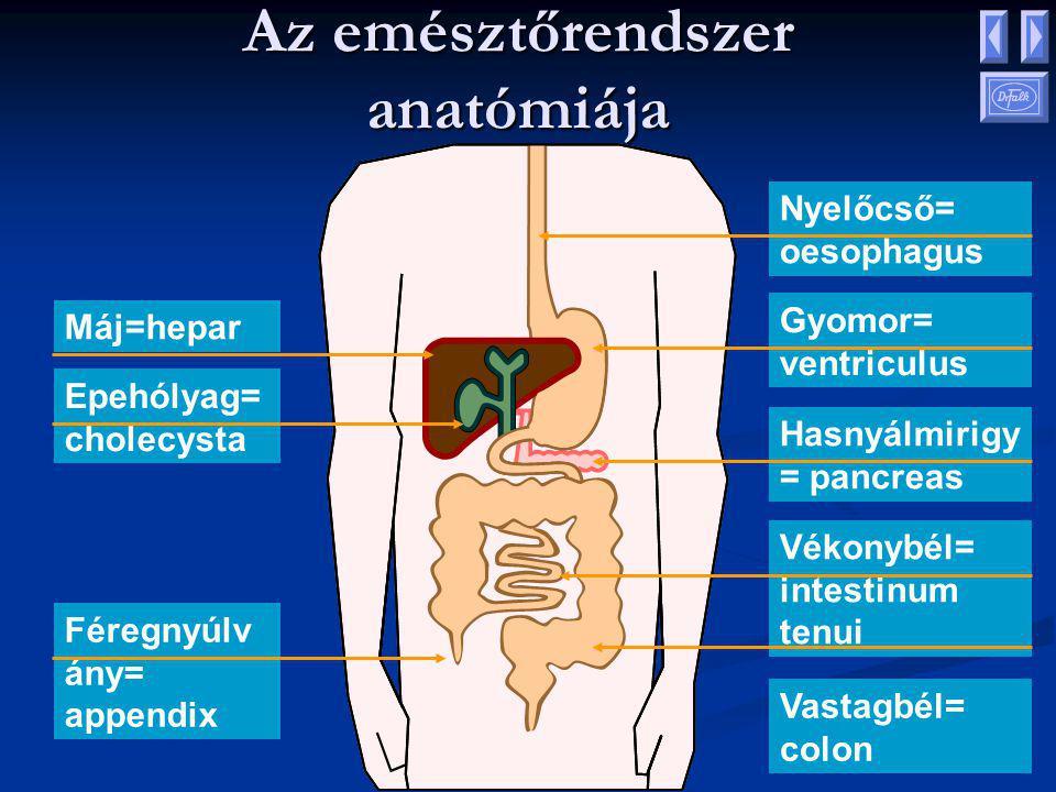 Az emésztőrendszer anatómiája Máj=hepar Epehólyag= cholecysta Féregnyúlv ány= appendix Nyelőcső= oesophagus Gyomor= ventriculus Hasnyálmirigy = pancreas Vékonybél= intestinum tenui Vastagbél= colon