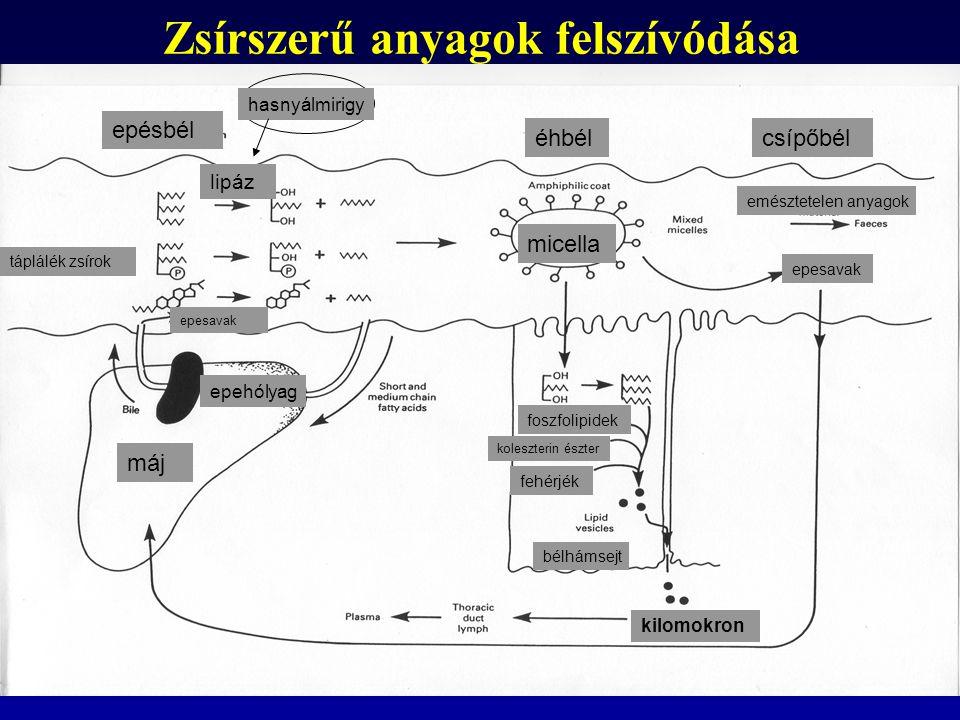 Zsírszerű anyagok felszívódása micella máj epehólyag táplálék zsírok epesavak emésztetelen anyagok kilomokron foszfolipidek koleszterin észter fehérjé