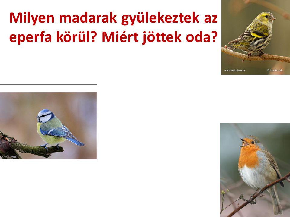 Milyen madarak gyülekeztek az eperfa körül? Miért jöttek oda?