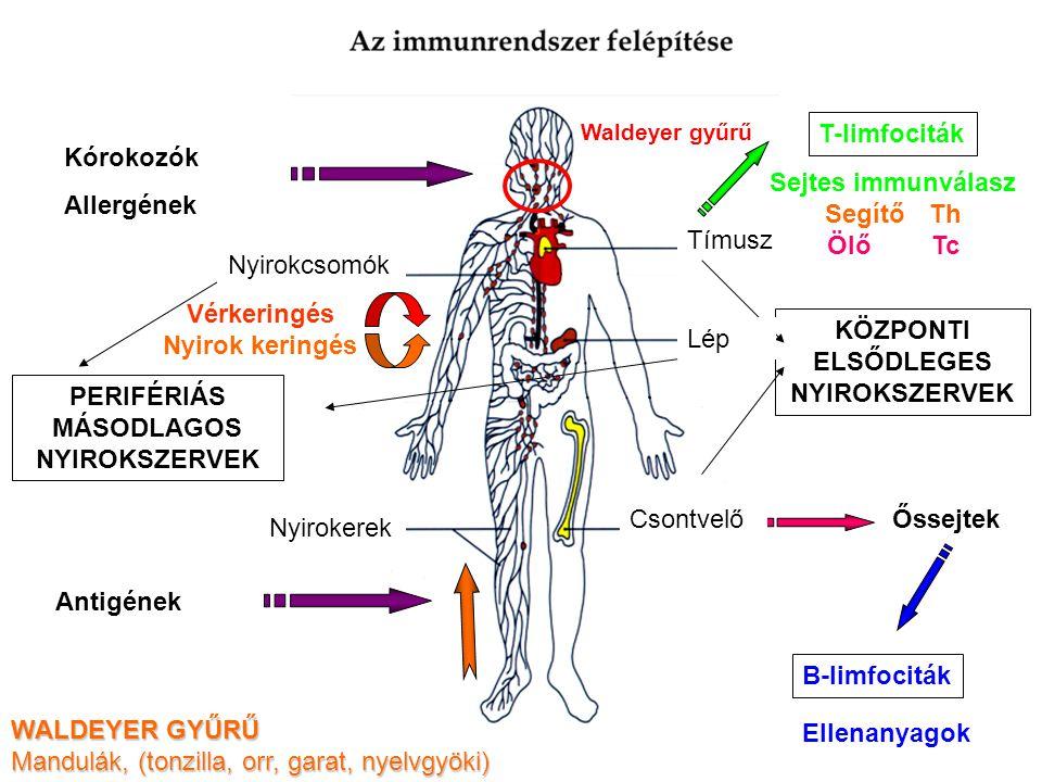 Kórokozók Allergének Antigének Őssejtek B-limfociták Ellenanyagok T-limfociták Sejtes immunválasz Segítő Th Ölő Tc Vérkeringés Nyirok keringés Csontve