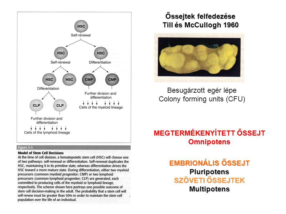 Besugárzott egér lépe Colony forming units (CFU) Őssejtek felfedezése Till és McCullogh 1960 MEGTERMÉKENYÍTETT ŐSSEJT Omnipotens EMBRIONÁLIS ŐSSEJT Pluripotens SZÖVETI ŐSSEJTEK Multipotens