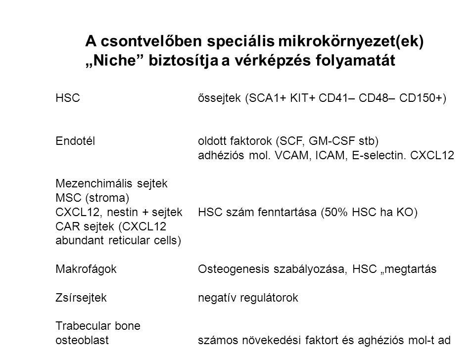 """A csontvelőben speciális mikrokörnyezet(ek) """"Niche biztosítja a vérképzés folyamatát HSCőssejtek (SCA1+ KIT+ CD41– CD48– CD150+) Endotéloldott faktorok (SCF, GM-CSF stb) adhéziós mol."""