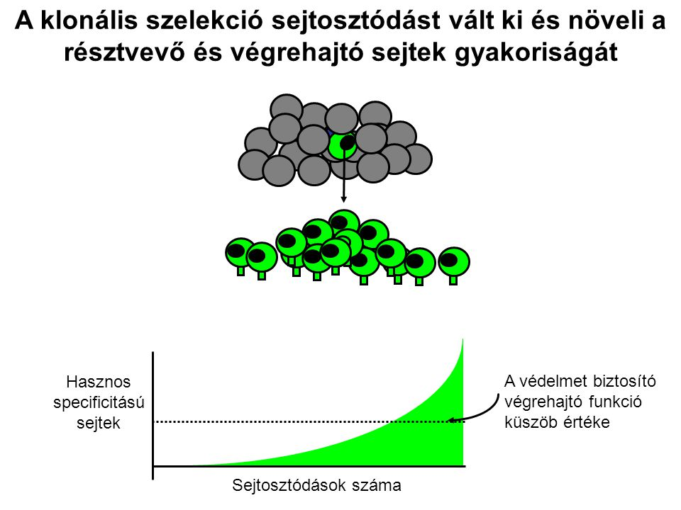 A klonális szelekció sejtosztódást vált ki és növeli a résztvevő és végrehajtó sejtek gyakoriságát Sejtosztódások száma Hasznos specificitású sejtek A