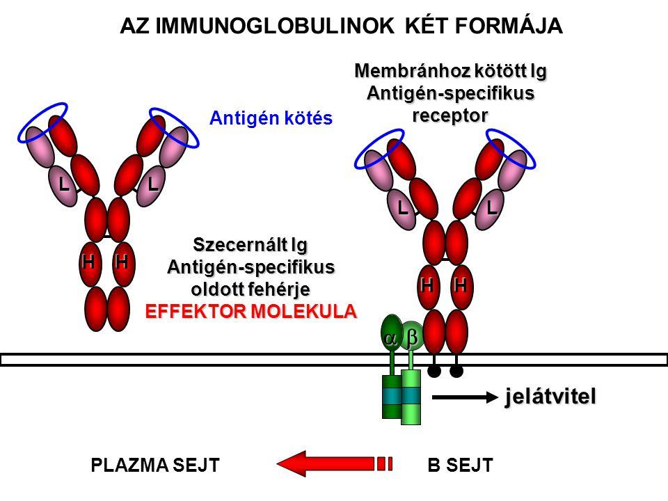 a a HH LL Szecernált Ig Antigén-specifikus oldott fehérje EFFEKTOR MOLEKULA  jelátvitel HH LL AZ IMMUNOGLOBULINOK KÉT FORMÁJA Membránhoz kötött Ig Antigén-specifikusreceptor B SEJTPLAZMA SEJT Antigén kötés
