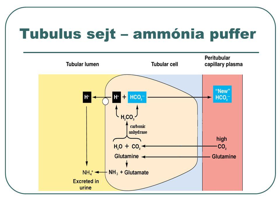 Tubulus sejt – ammónia puffer