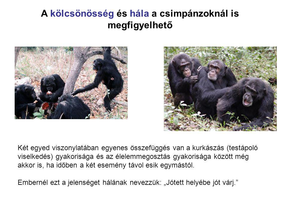 A kölcsönösség és hála a csimpánzoknál is megfigyelhető Két egyed viszonylatában egyenes összefüggés van a kurkászás (testápoló viselkedés) gyakorisága és az élelemmegosztás gyakorisága között még akkor is, ha időben a két esemény távol esik egymástól.
