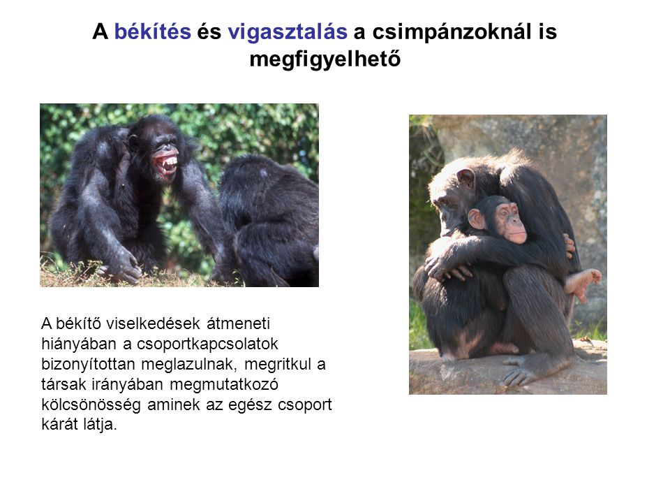 A békítés és vigasztalás a csimpánzoknál is megfigyelhető A békítő viselkedések átmeneti hiányában a csoportkapcsolatok bizonyítottan meglazulnak, megritkul a társak irányában megmutatkozó kölcsönösség aminek az egész csoport kárát látja.