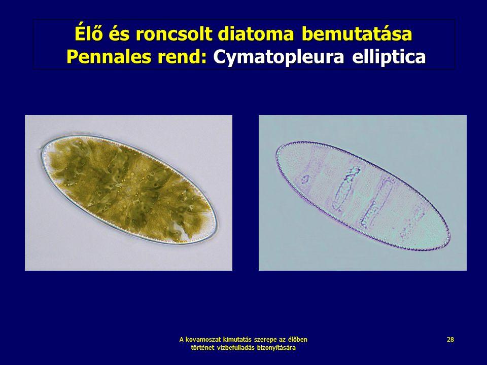 A kovamoszat kimutatás szerepe az élőben történet vízbefulladás bizonyítására 28 Élő és roncsolt diatoma bemutatása Pennales rend: Cymatopleura ellipt