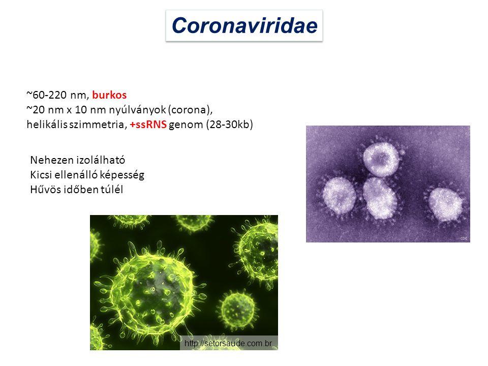 Coronaviridae ~60-220 nm, burkos ~20 nm x 10 nm nyúlványok (corona), helikális szimmetria, +ssRNS genom (28-30kb) Nehezen izolálható Kicsi ellenálló k