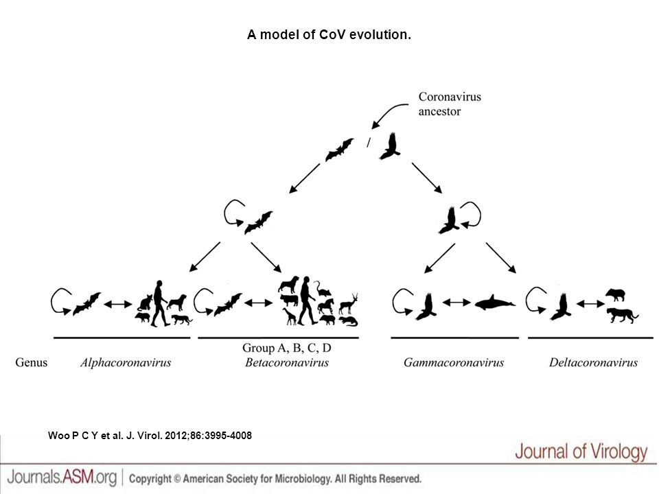 A model of CoV evolution. Woo P C Y et al. J. Virol. 2012;86:3995-4008
