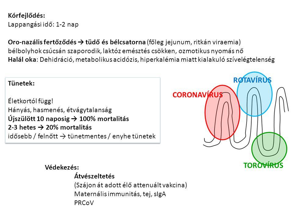 Peplomer (Spike, S) Peplomer (Spike, S) Nucleoprotein (N) Membrane (M) Small membrane envelope (sM, E) ssRNA S protein trimer Horgony régió Rkh Életkori rezisztencia TGE Légzőszervi coronavírus PRCoV Légzőszervi coronavírus PRCoV Deléció Módosult TGEV (deléciós mutánsok) 1980-as évektől Immunizál TGE-vel szemben (Másodlagos fertőzések)