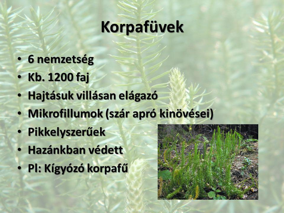 Korpafüvek 6 nemzetség 6 nemzetség Kb. 1200 faj Kb. 1200 faj Hajtásuk villásan elágazó Hajtásuk villásan elágazó Mikrofillumok (szár apró kinövései) M