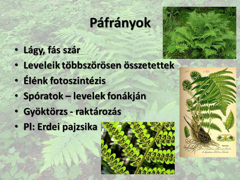 Páfrányok Lágy, fás szár Lágy, fás szár Leveleik többszörösen összetettek Leveleik többszörösen összetettek Élénk fotoszintézis Élénk fotoszintézis Sp