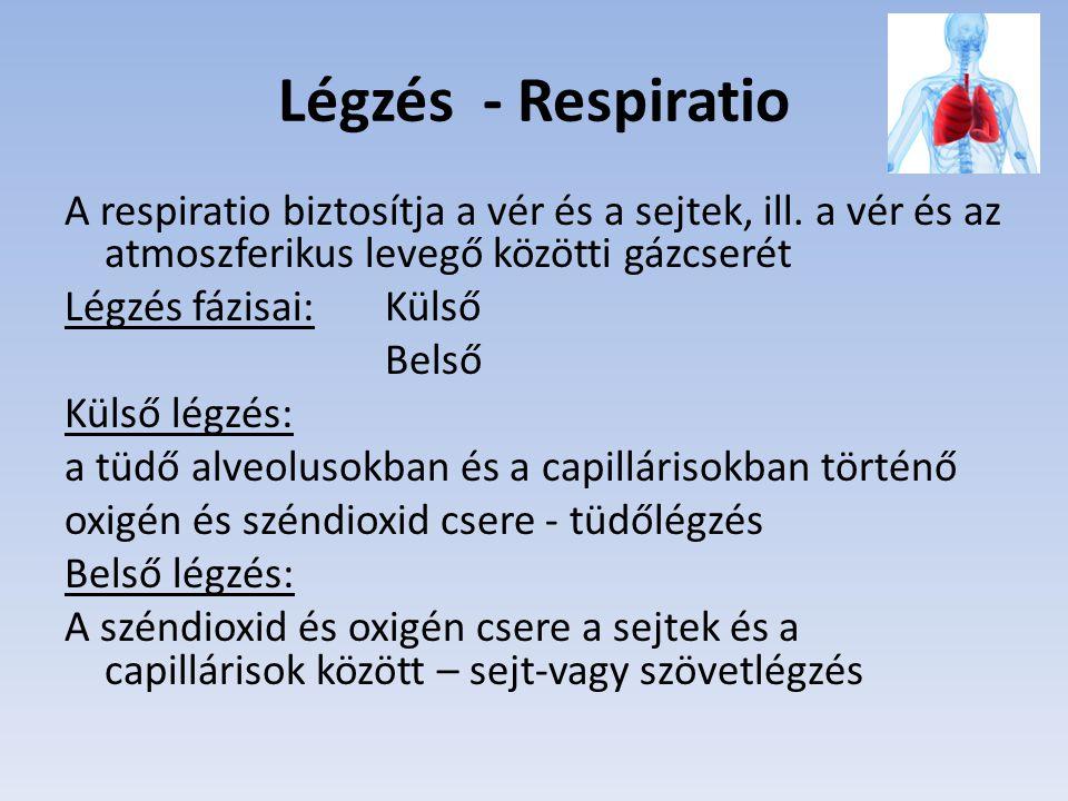Légzés - Respiratio A respiratio biztosítja a vér és a sejtek, ill. a vér és az atmoszferikus levegő közötti gázcserét Légzés fázisai: Külső Belső Kül