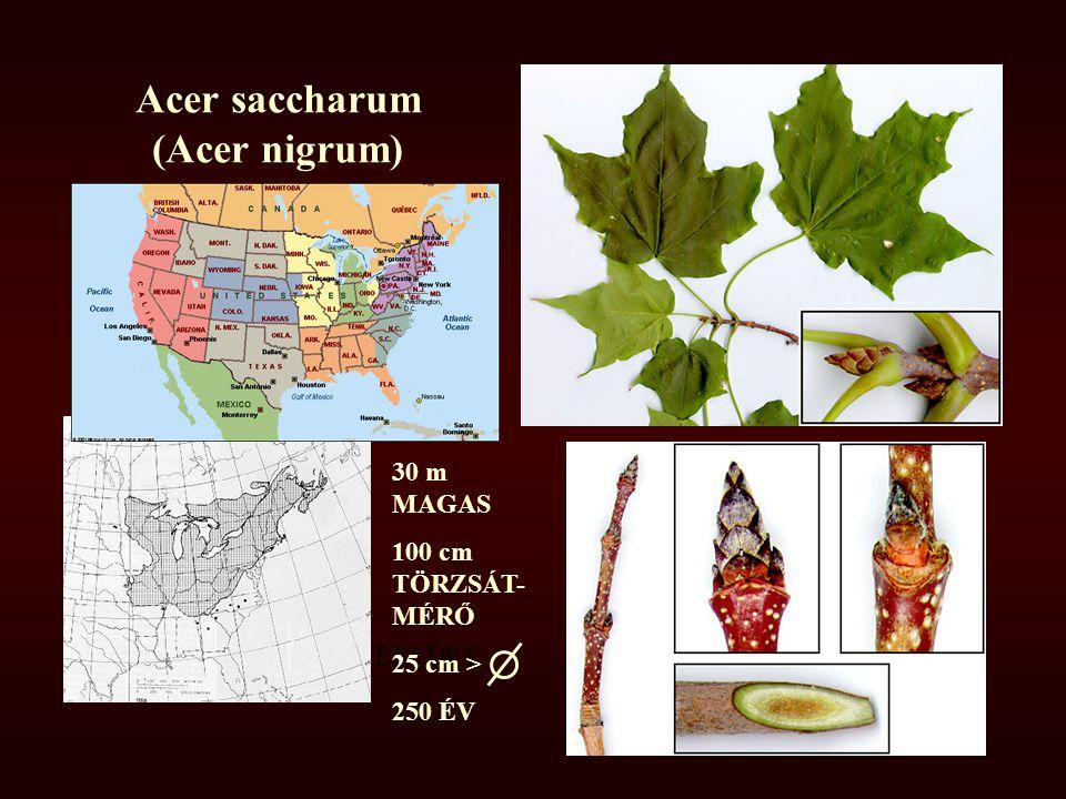 Acer saccharum (Acer nigrum) EREDET 30 m MAGAS 100 cm TÖRZSÁT- MÉRŐ 25 cm > 250 ÉV