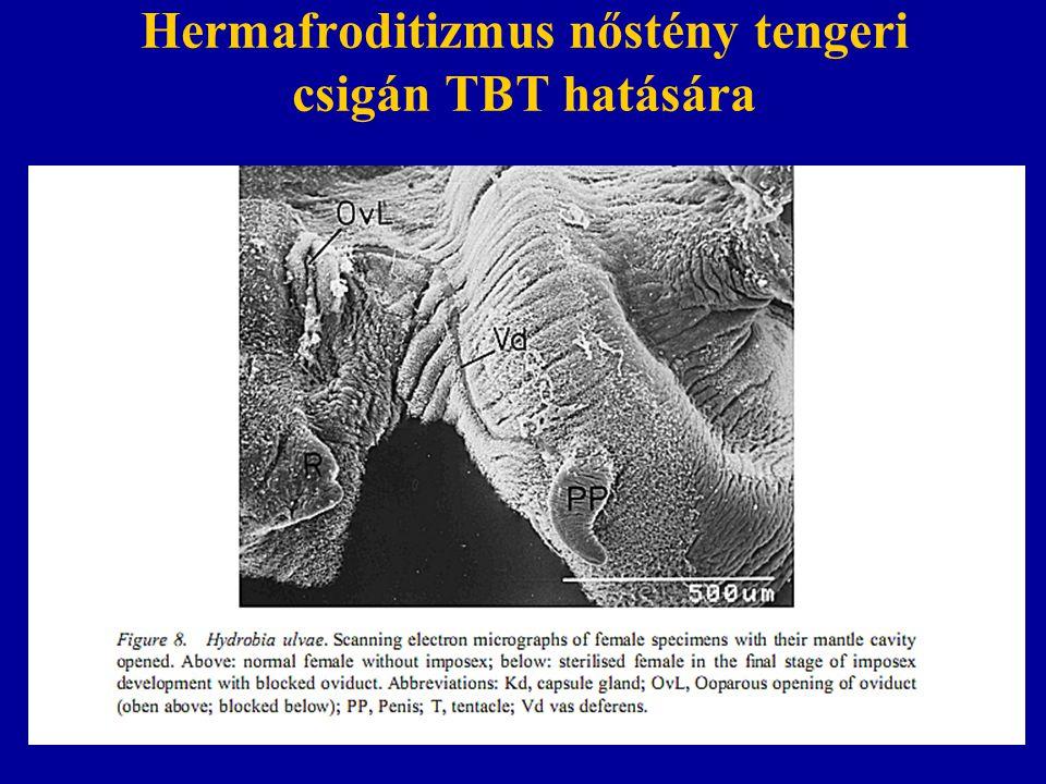 Hermafroditizmus nőstény tengeri csigán TBT hatására
