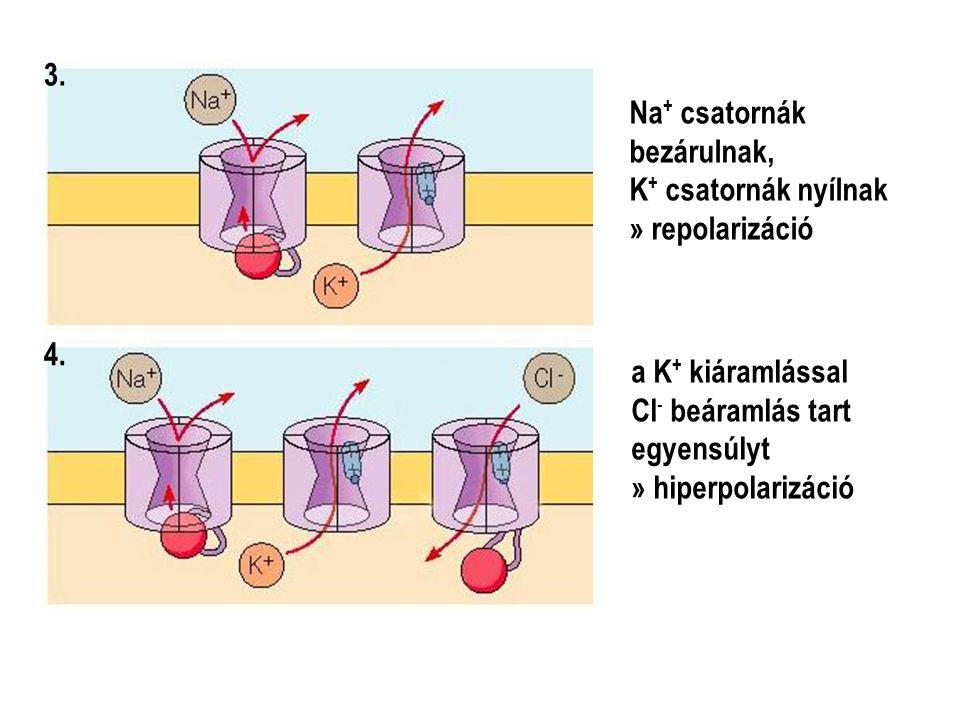 Na + csatornák bezárulnak, K + csatornák nyílnak » repolarizáció 3. a K + kiáramlással Cl - beáramlás tart egyensúlyt » hiperpolarizáció 4.