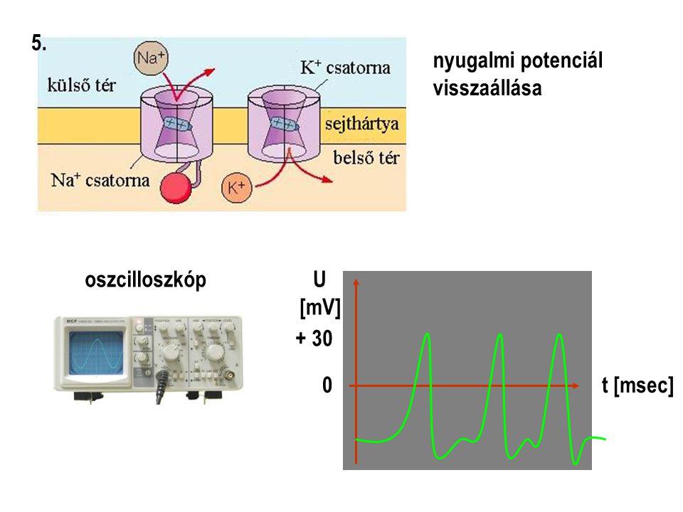 nyugalmi potenciál visszaállása 5. oszcilloszkóp + 30 0 U [mV] t [msec]