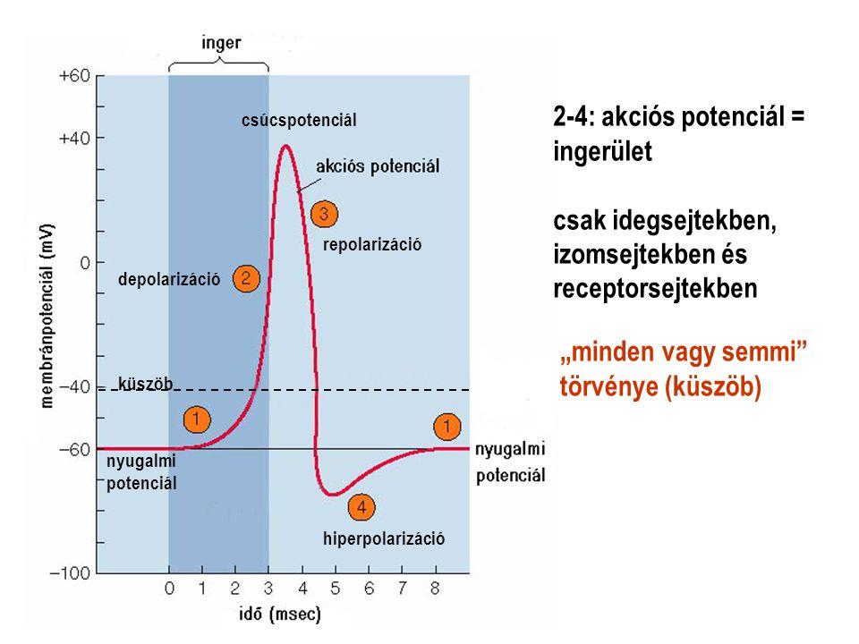 """2-4: akciós potenciál = ingerület csak idegsejtekben, izomsejtekben és receptorsejtekben """"minden vagy semmi"""" törvénye (küszöb) depolarizáció nyugalmi"""