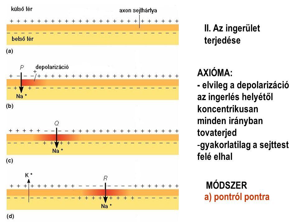 II. Az ingerület terjedése AXIÓMA: - elvileg a depolarizáció az ingerlés helyétől koncentrikusan minden irányban tovaterjed - gyakorlatilag a sejttest