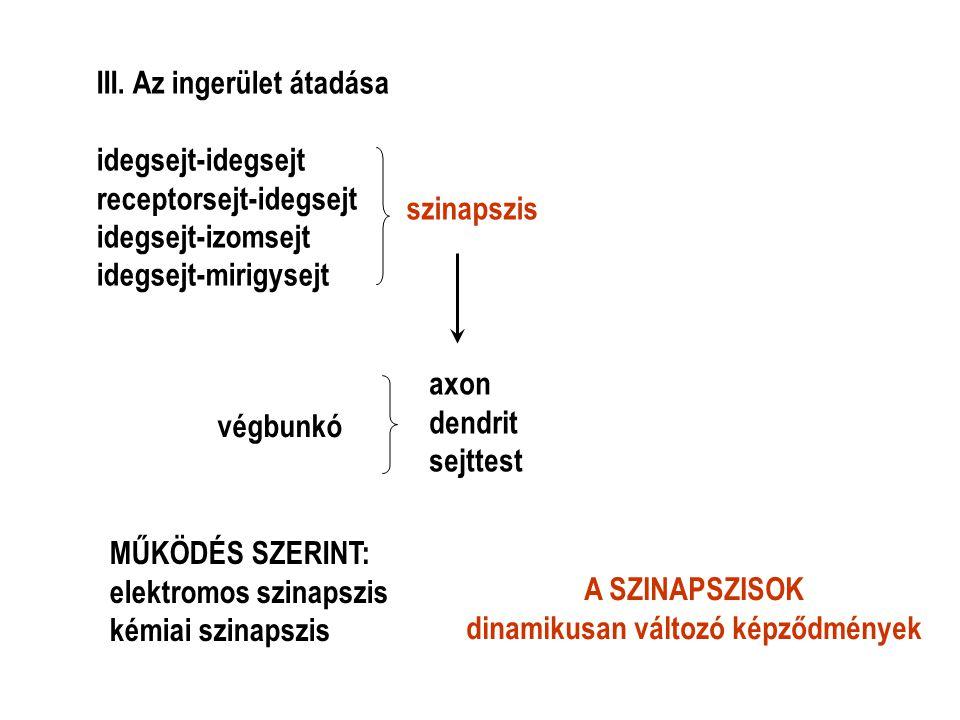 III. Az ingerület átadása idegsejt-idegsejt receptorsejt-idegsejt idegsejt-izomsejt idegsejt-mirigysejt szinapszis végbunkó axon dendrit sejttest MŰKÖ