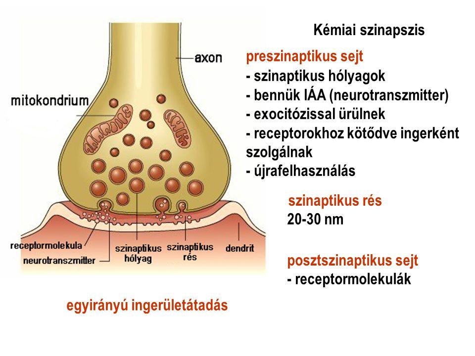 20-30 nm - receptormolekulák egyirányú ingerületátadás - szinaptikus hólyagok - bennük IÁA (neurotranszmitter) - exocitózissal ürülnek - receptorokhoz