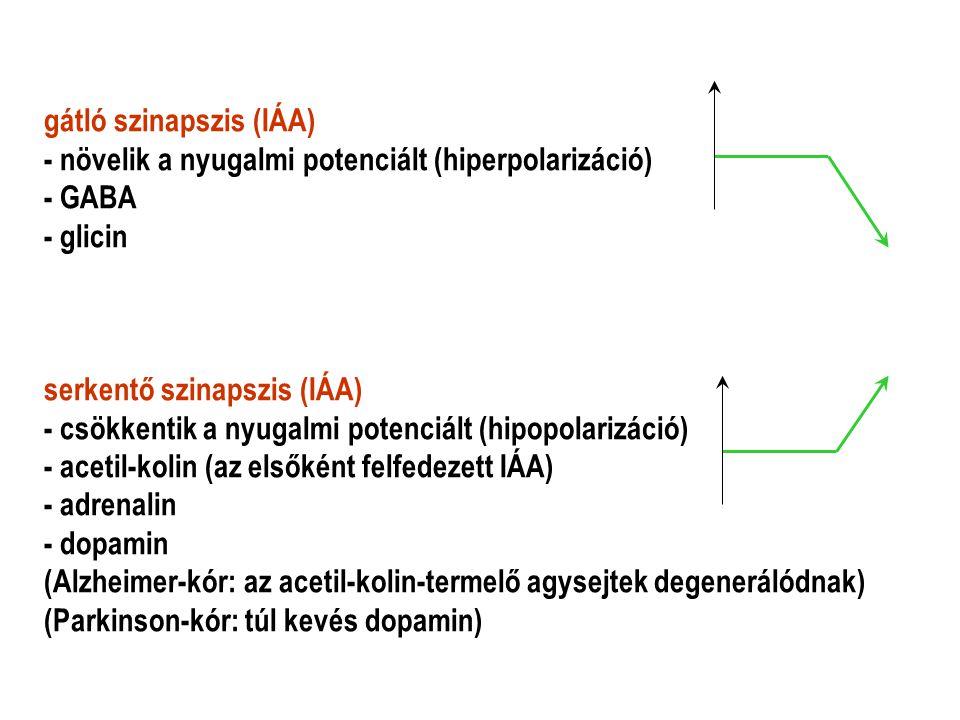 gátló szinapszis (IÁA) - növelik a nyugalmi potenciált (hiperpolarizáció) - GABA - glicin serkentő szinapszis (IÁA) - csökkentik a nyugalmi potenciált