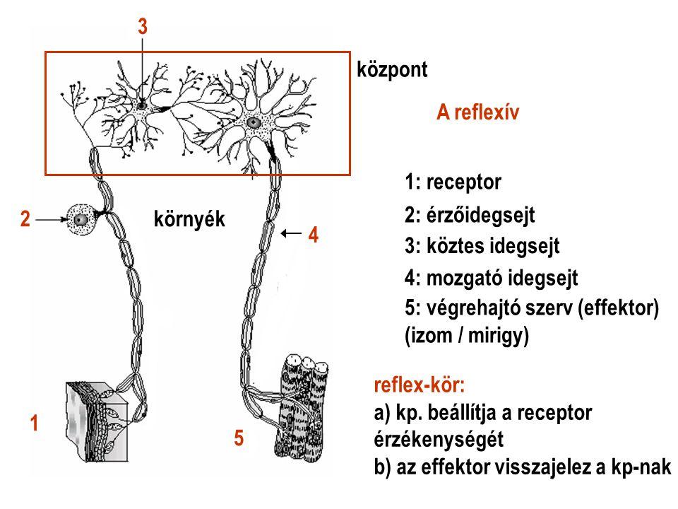 A reflexív központ környék 1 2 3 4 5 1: receptor 2: érzőidegsejt 3: köztes idegsejt 4: mozgató idegsejt 5: végrehajtó szerv (effektor) (izom / mirigy)