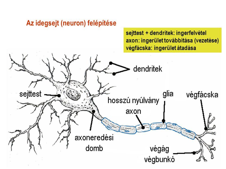 Az idegsejt (neuron) felépítése sejttest + dendritek: ingerfelvétel axon: ingerület továbbítása (vezetése) végfácska: ingerület átadása