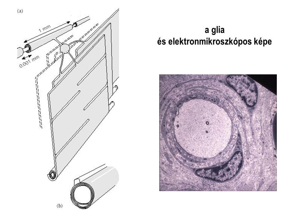 a glia és elektronmikroszkópos képe