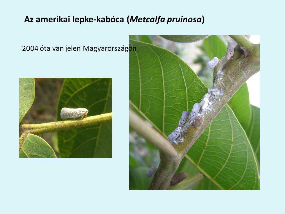 Az amerikai lepke-kabóca (Metcalfa pruinosa) 2004 óta van jelen Magyarországon