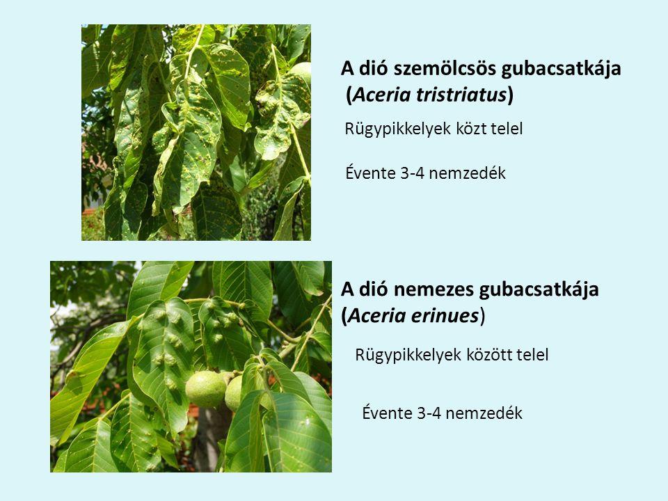 Rügypikkelyek közt telel Évente 3-4 nemzedék A dió szemölcsös gubacsatkája (Aceria tristriatus) A dió nemezes gubacsatkája (Aceria erinues) Rügypikkelyek között telel Évente 3-4 nemzedék