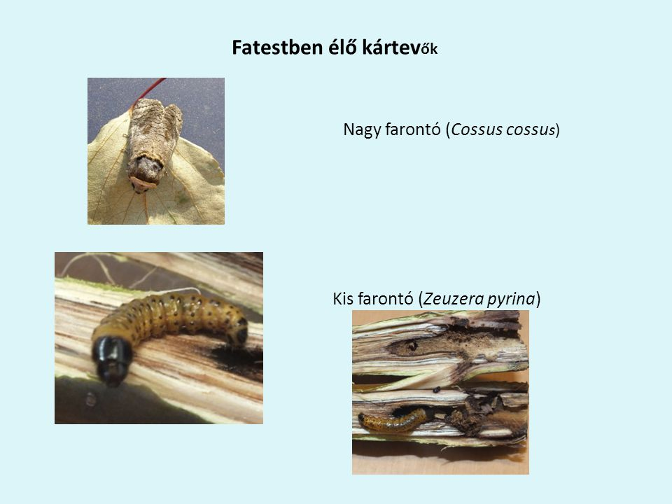 Fatestben élő kártev ők Nagy farontó (Cossus cossu s) Kis farontó (Zeuzera pyrina)