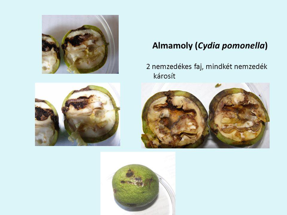 Almamoly (Cydia pomonella) 2 nemzedékes faj, mindkét nemzedék károsít