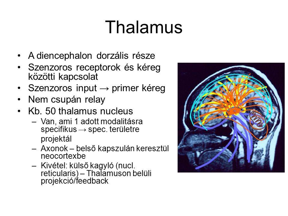 Thalamus magvak 4 fő csoport: anterior, mediális, ventrolaterális, posterior Emellett: középvonalban lamina