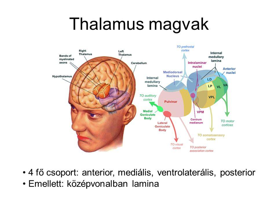 Anterior Thalamus Csupán 1 nucleusból áll Fő input: hypothalamus nucl.
