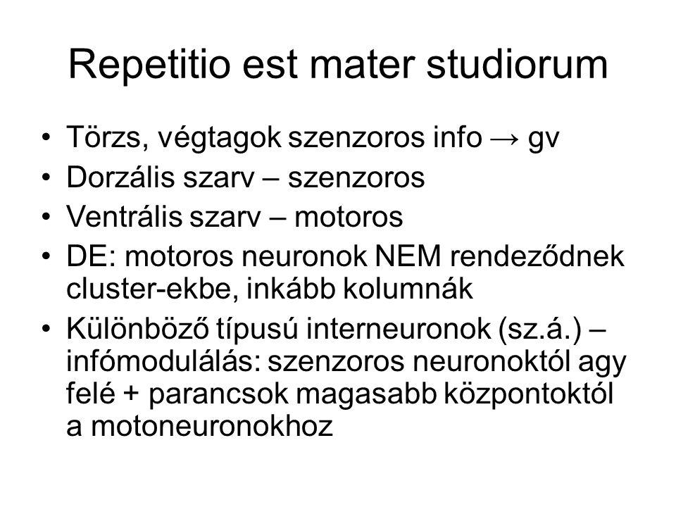 Fehérállomány: dorzális, ventrális, laterális –Fel- és leszálló axonok –Dorzális: csak felszálló –Ventrális és laterális: mind2 Felszálló (szenz.), párhuzamos pályák, fájdalom, hőinfó Leszálló (motoros), izmok, pozitúra kontrollja